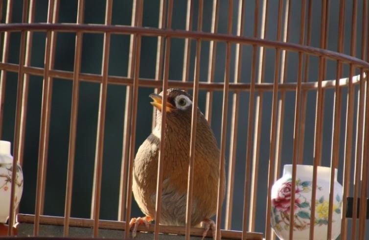 画眉鸟为什么会突然不叫了?